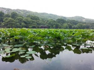 Seerosen auf dem West Lake