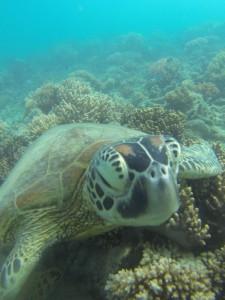 Tauchen mit Schildkröten