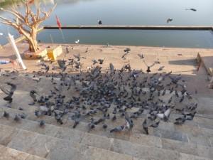 Tauben in Pushkar (Tauben werden überall in Indien fleißig gefüttert)