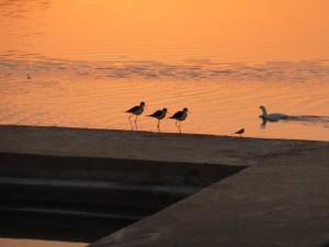 Vogelfamilie in Pushkar