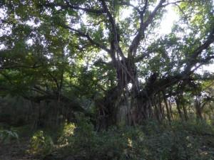 Ein etwa 500 Jahre alter Baum