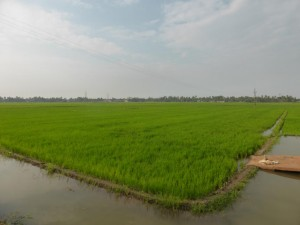 Reisfelder nahe Alleppey