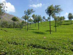 Teefelder in Munnara
