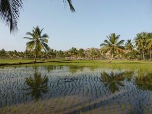 Reisfelder neben unserer Unterkunft