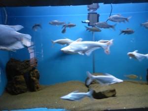 Albino Haie im Aquarium