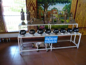 Viele Hunde in Chiang Mai - auch im Tempel