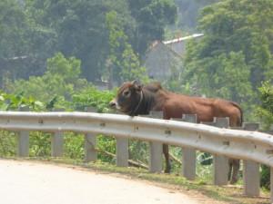 Viele Kühe säumen den Straßenrand