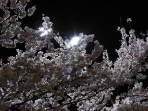 Die ersten Kirschblüten die wir sehen