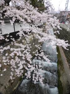Kirschblüten in Takayama