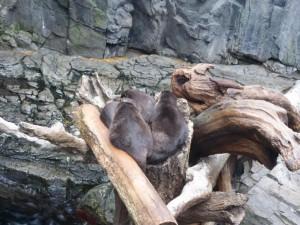 Otter im Kaiyūkan Aquarium