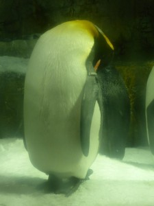 Pinguine m Kaiyūkan Aquarium