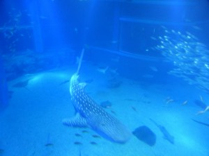 Walhai im Kaiyūkan Aquarium