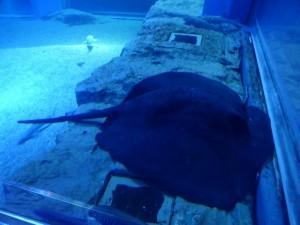 Rochen im Kaiyūkan Aquarium
