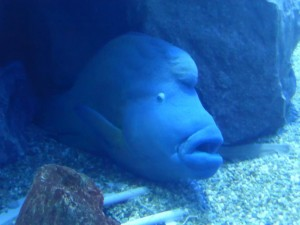 Ein Fisch im Kaiyūkan Aquarium