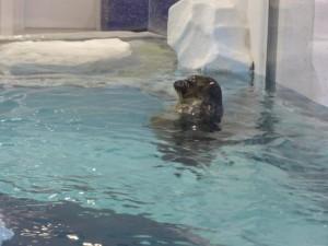 Eine Robbe im Kaiyūkan Aquarium
