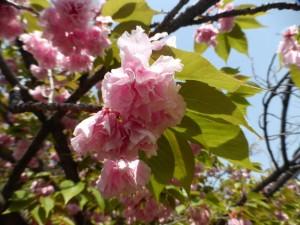 Kirschblüten im Burgpark