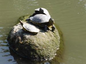 Schildkröten im See des Shukkei-En-Park