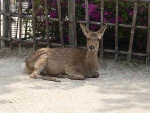 Ein Reh auf Miyajima