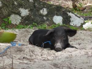 Insel Hopping: Inselschwein auf Doku Island