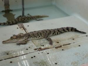 Größeres Krokodil