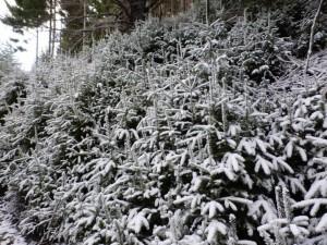 Ein paar Weihnachtsbäume