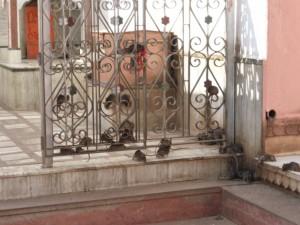 Ratten im Tempel